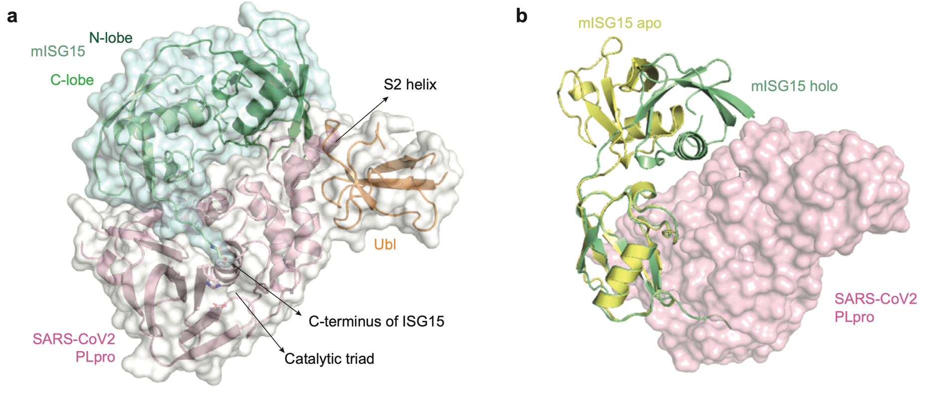 Crystal structure of a PLproCoV2 - ubiquitin-like protein ISG15 complex. From the paper under review in Nature, Donghyuk Shin, et al. I. Dikik DOI:10.21203/rs.3.rs-27134/v1